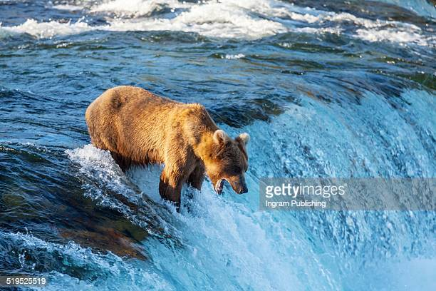 Bear fishing for salmon by waterfall