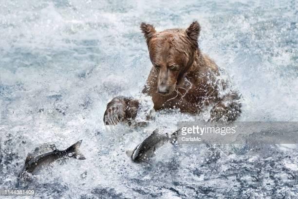 A bear fishing with salmon fish jumping