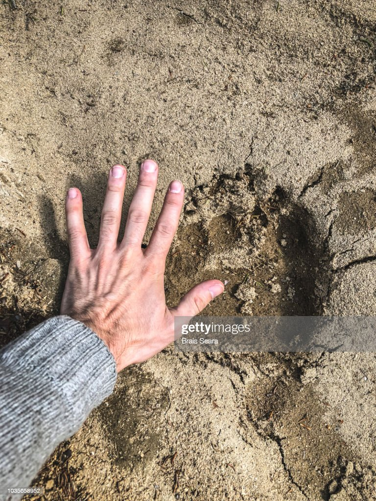 Bear footprint : Stock Photo