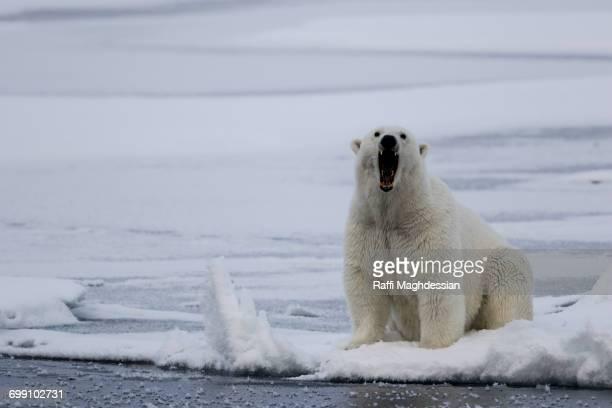 bear growling on the pack ice, ursus maritimus, spitzbergen, svalbard - bouche des animaux photos et images de collection