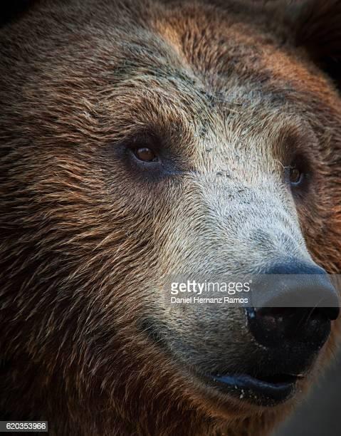 Bear Head close up