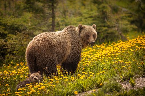 Bear in Jasper National Park in Canada 1094659566
