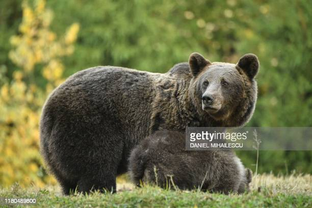 Bear is pictured next to her three cubs at a bear observatory next to Tusnad touristic resort in central Romania, October 19, 2019. - Romania has...