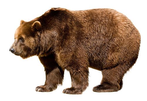bear isolated 171136250