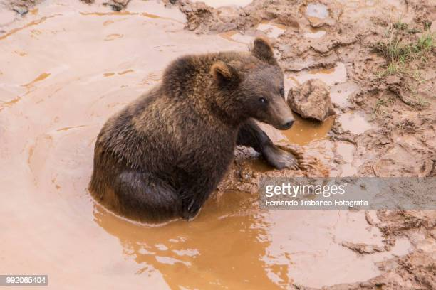 Bear looking at camera in the water