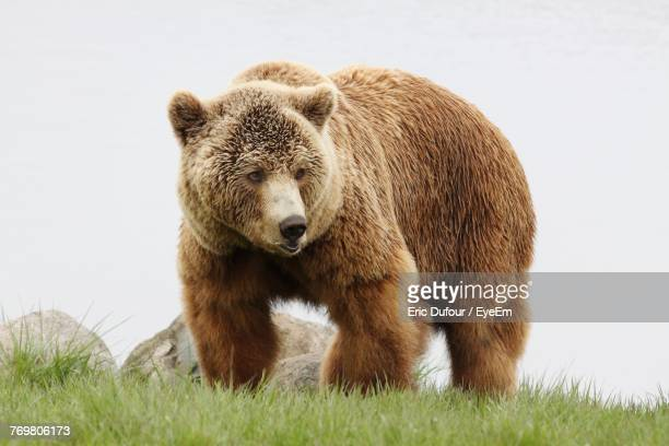 bear on grassy field against clear sky - ours photos et images de collection