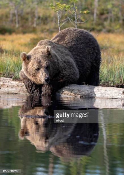 a bear on the shore of a lake drinking in a forest in finland - bear stock pictures, royalty-free photos & images