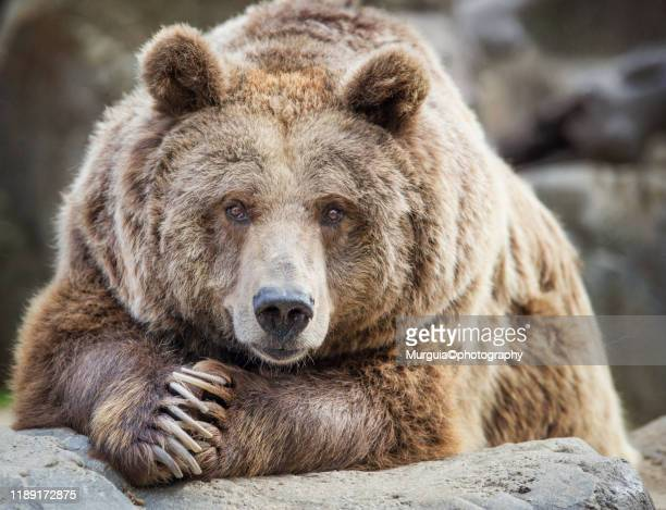 bear - grizzlies stock pictures, royalty-free photos & images