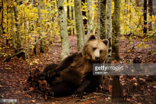 bear - orso bruno foto e immagini stock