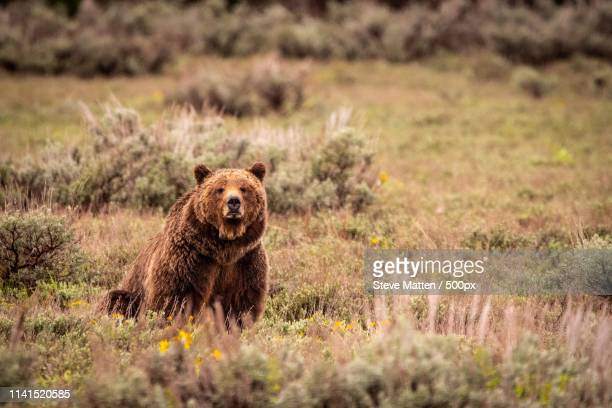 bear sitting on meadow - steve matten stock pictures, royalty-free photos & images