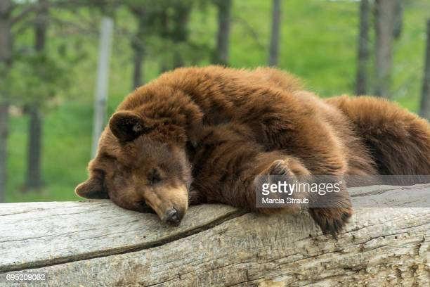 Bear Sleeping on a Log