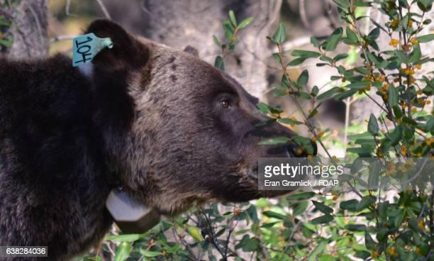 Bear smelling the buffaloberries