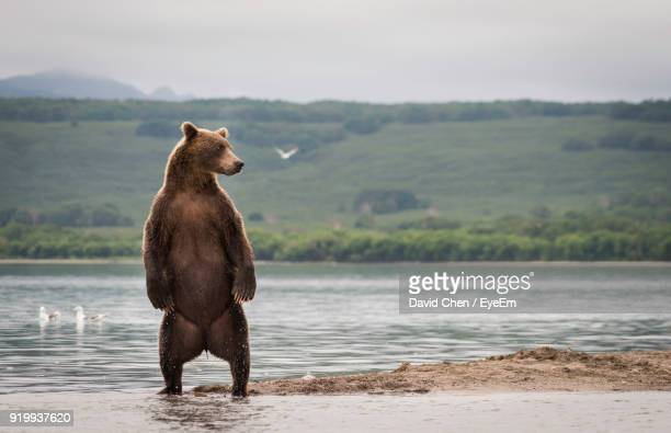 Bear Standing Against River