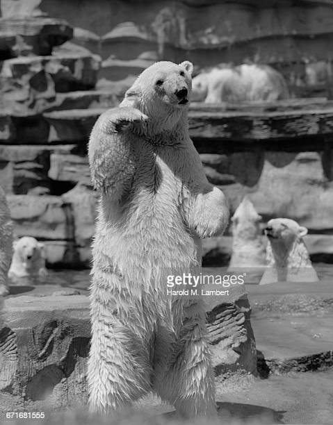 bear standing on two legs - pawed mammal stock pictures, royalty-free photos & images
