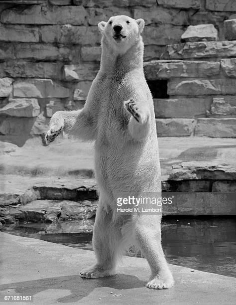 bear standing on two legs - mamífero con garras fotografías e imágenes de stock