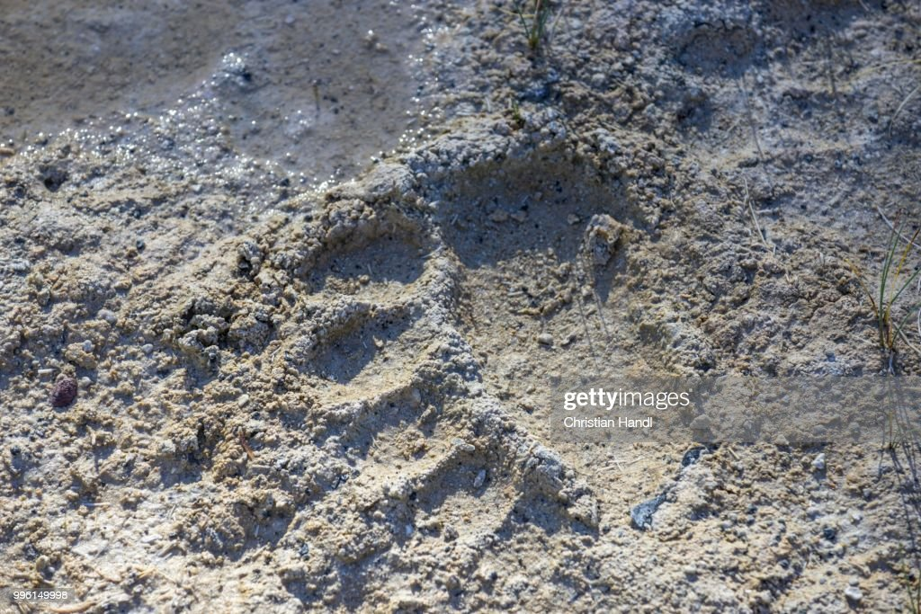 Bear track, Upper Geyser Basin, Yellowstone National Park, Wyoming, United States : Stock Photo