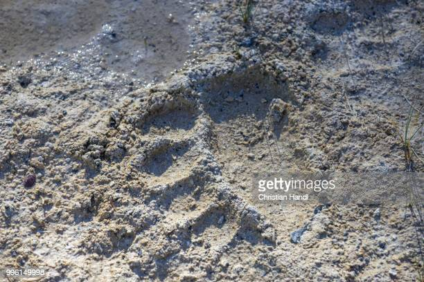 bear track, upper geyser basin, yellowstone national park, wyoming, united states - bear tracks stock photos and pictures