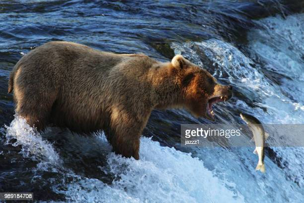 A bear trying to catch a fish from a waterfall.