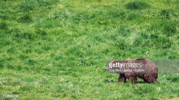 Bear Walking On Grassy Field