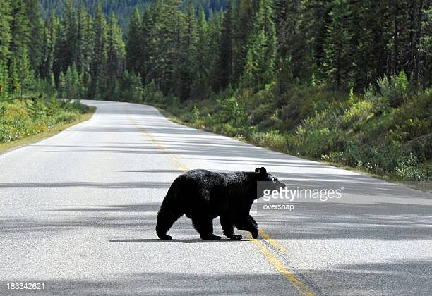 Bear walking