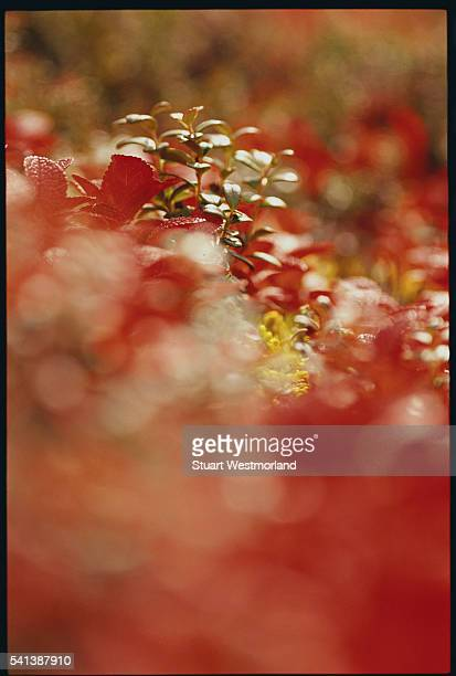 Bearberry and Dwarf Cranberry Leaves