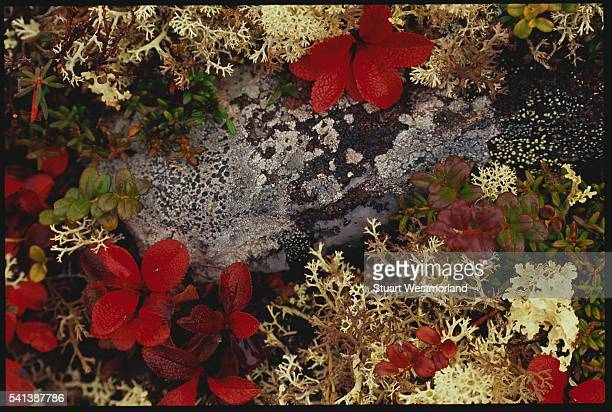 Bearberry and Lichens