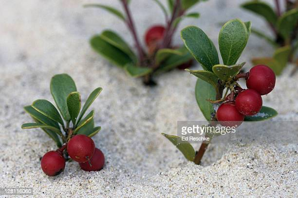 Bearberry, Arctostaphylos uva-ursi. Ground-trailing evergreen shrub with red, berry-like fruit. Sandy sites. Favored by birds and wildlife. Beaver Island, Michigan. USA