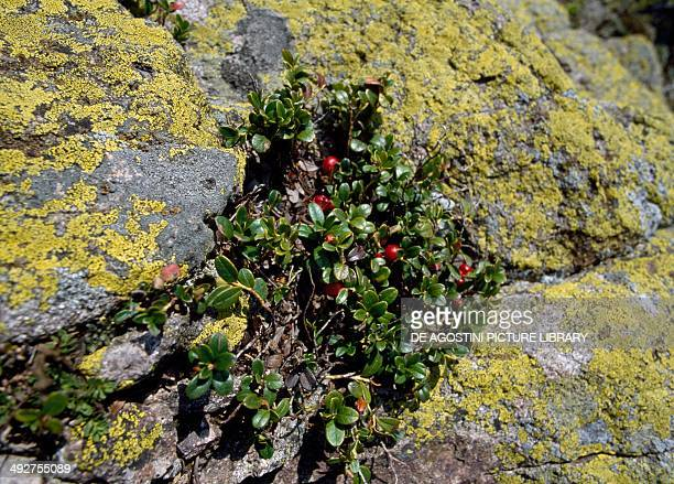 Bearberry Ericaceae