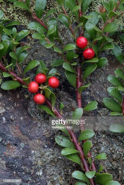 Bearberry, Kinnikinnick or Pinemat Manzanita (Arctostaphylos uva-ursi), Martelltal, Stilfser Joch National Park, Bolzano-Bozen, Italy