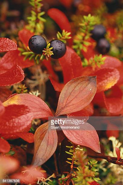 Bearberry Leaves and Crowberries