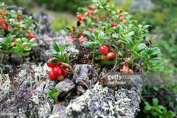 Bearberry view in South Tyrol, Italy
