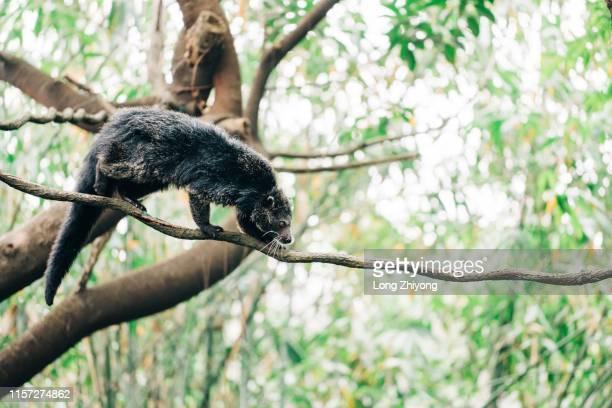 bearcat - marderhund stock-fotos und bilder