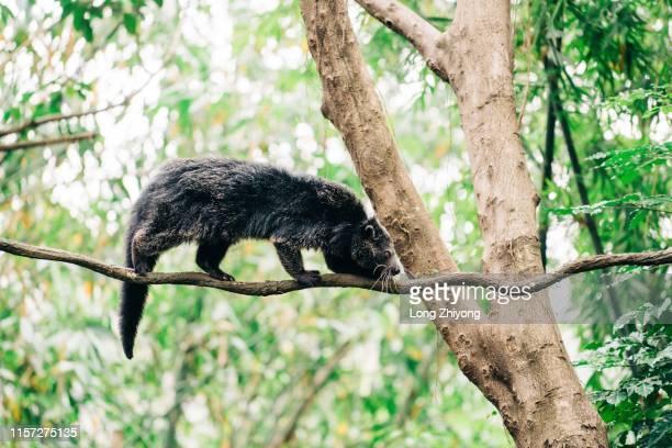 bearcat - civet cat stock pictures, royalty-free photos & images