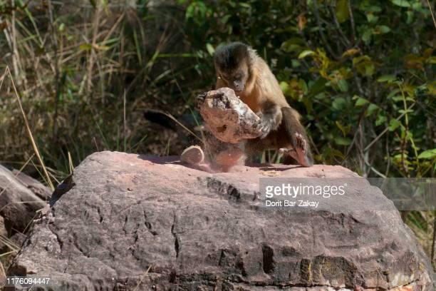 bearded capuchin (cebus libidinosus) cracking a coconut with a stone - mono capuchino fotografías e imágenes de stock