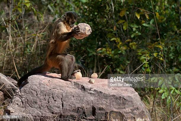 bearded capuchin (cebus libidinosus) cracks nuts - mono capuchino fotografías e imágenes de stock