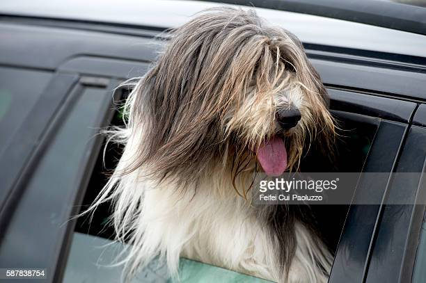 Bearded Collie dog from a car window at Port of Ness in Isle of Lewis of Scotland