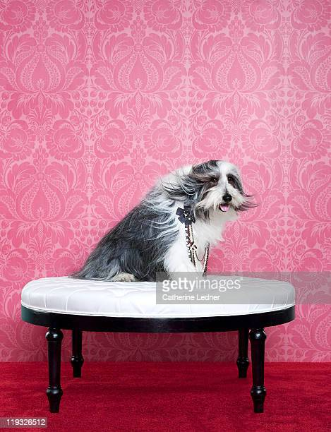 Bearded Collie (Canis lupus familiaris) on chair