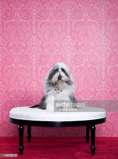 bearded collie (canis lupus familiaris) on chair - indulgence stock pictures, royalty-free photos & images