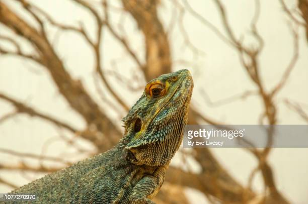 bearded dragon iguana - bearded dragon stock photos and pictures