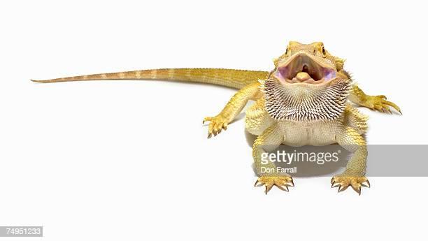 Bearded dragon (Pagona vitticeps) in studio