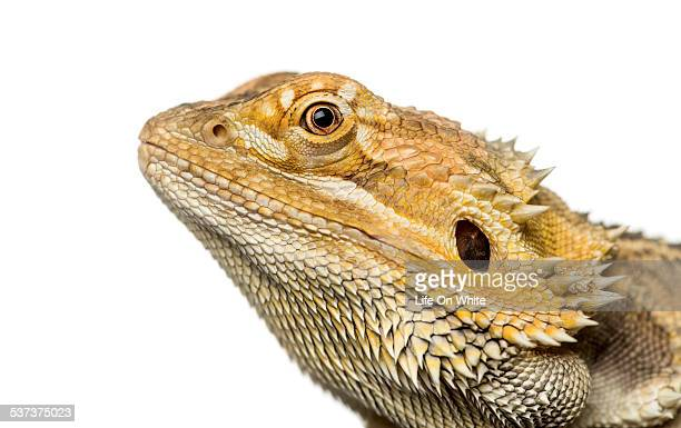 bearded dragon, isolated on white - bearded dragon stock pictures, royalty-free photos & images