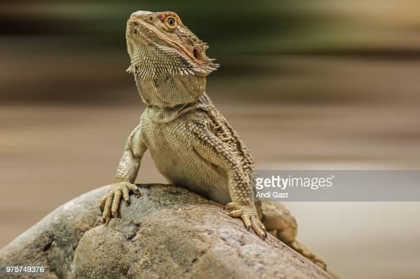 bearded dragon lizard (pogona) on rock - bearded dragon stock photos and pictures