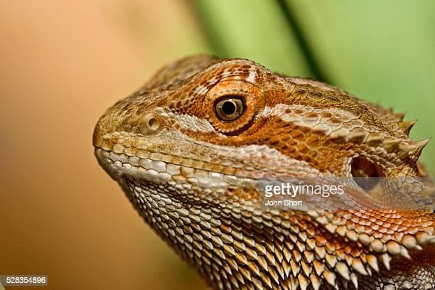 Bearded Dragon lizard (Pogona)