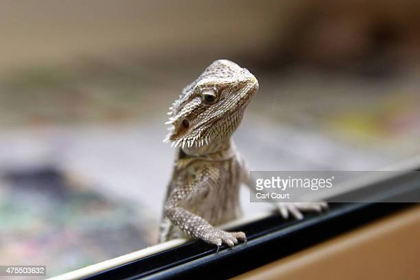 Bearded Dragon looks out from its tank at the Royal Society for the Prevention of Cruelty to Animals reptile rescue centre on May 29 2015 in Brighton...
