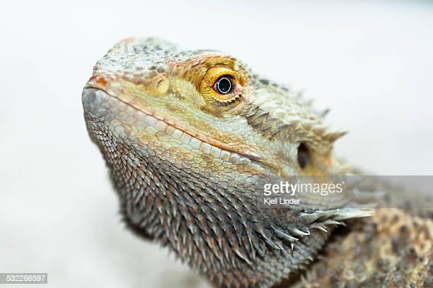 Bearded Dragon on White