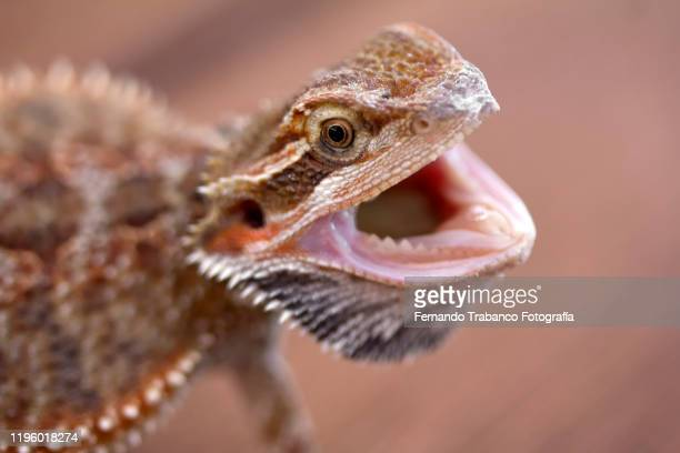 bearded dragon - exotic pets stock pictures, royalty-free photos & images