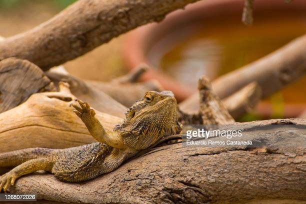 bearded dragon - bearded dragon stock pictures, royalty-free photos & images