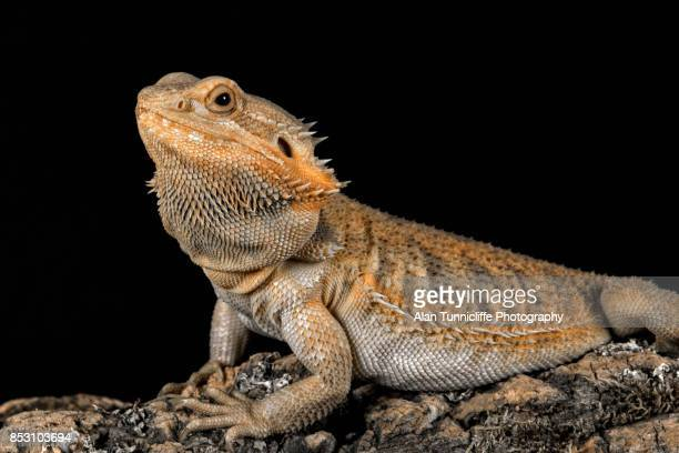 bearded dragon portrait - bearded dragon stock photos and pictures
