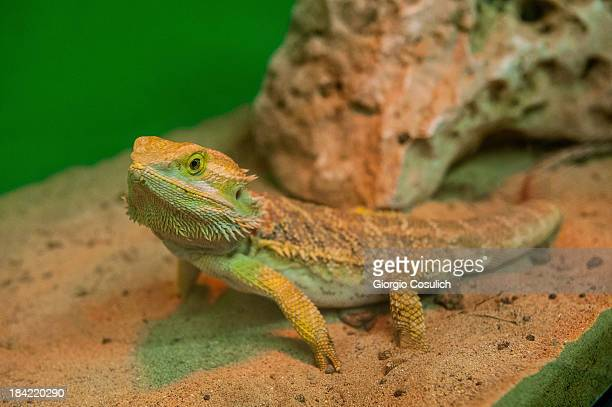 A 'Bearded Dragon' reptile is seen during the opening of the event Getting in touch with nature in the new educational area at the Bioparco on...