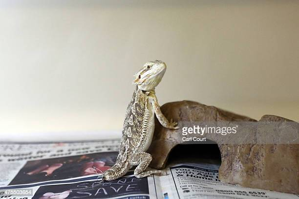 Bearded Dragon stands in its tank at the Royal Society for the Prevention of Cruelty to Animals reptile rescue centre on May 29 2015 in Brighton...